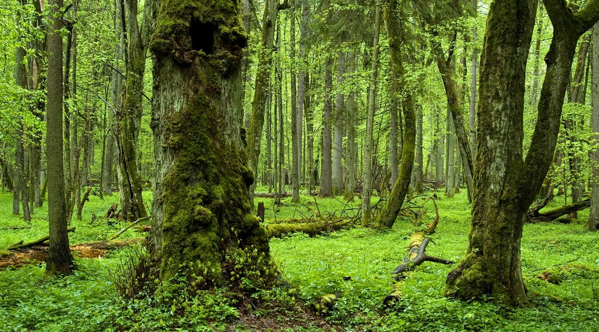 Letzter Urwald Europas
