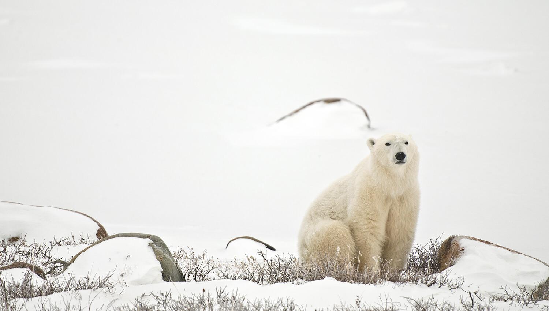 Im Wapusk-Nationalpark findet sich das weltweit größte Eisbären-Geburtshöhlengebiet der Welt