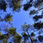 Waldbaden: Blick von unten in die Baumkronen.
