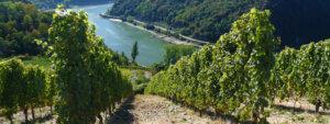 Rheingau: Blick durch Weinberge hinab auf den Rhein